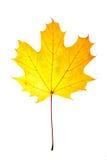 желтый цвет клена листьев Стоковая Фотография