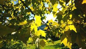 Желтый цвет клена осени выходит в яркие лучи солнца утра Стоковые Изображения RF