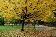 желтый цвет клена Стоковая Фотография