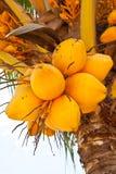 желтый цвет кокосов Стоковые Изображения