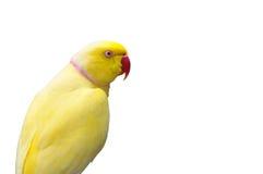 желтый цвет кольца попыгая шеи крупного плана Стоковые Изображения RF