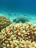 желтый цвет коралла Стоковая Фотография