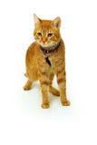желтый цвет кота Стоковое Изображение