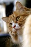 желтый цвет кота Стоковые Изображения