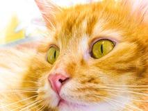 желтый цвет кота Стоковая Фотография