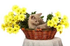 желтый цвет котят цветков корзины Стоковые Изображения RF