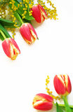 желтый цвет красных тюльпанов mimosa белый Стоковое фото RF