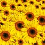 желтый цвет красоток Стоковое Изображение RF
