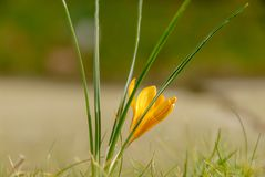 Желтый цвет крокуса весны цветка в саде стоковые фото
