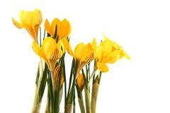 желтый цвет крокуса Стоковое фото RF
