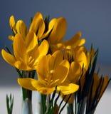 желтый цвет крокуса стоковое изображение