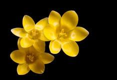 желтый цвет крокуса Стоковая Фотография