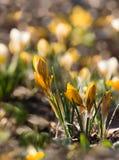 желтый цвет крокуса Стоковое Изображение RF