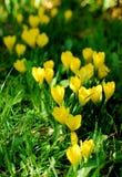 желтый цвет крокуса Стоковые Изображения RF