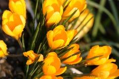 желтый цвет крокусов Стоковая Фотография