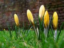 желтый цвет крокусов Стоковое Фото