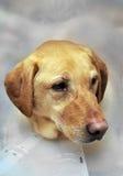 желтый цвет лаборатории конуса поврежденный собакой Стоковые Изображения