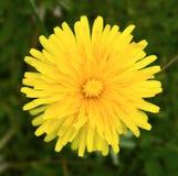желтый цвет лепестков цветка одуванчика Стоковая Фотография
