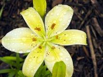 желтый цвет лилии востоковедный Стоковые Изображения
