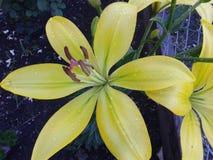 Желтый цвет лилии в саде Лето Июнь 2018 стоковые изображения