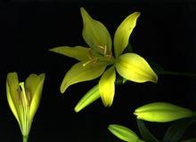 желтый цвет лилии дня стоковые изображения