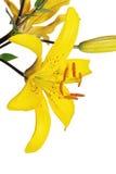 желтый цвет лилии цветка Стоковые Изображения RF