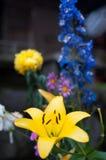 желтый цвет лилии Стоковые Фото
