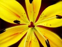 желтый цвет лилии Стоковое Изображение
