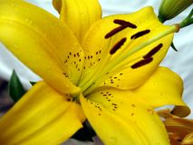 желтый цвет лилии Стоковое Изображение RF