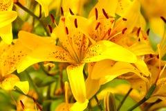 желтый цвет лилии Стоковая Фотография