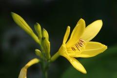 желтый цвет лилии Стоковое фото RF