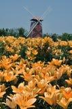 желтый цвет лилии Стоковое Фото