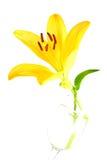 желтый цвет лилии Стоковые Фотографии RF