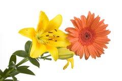 желтый цвет лилии gerber Стоковые Изображения