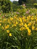 желтый цвет лилий Стоковая Фотография