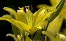 желтый цвет лилий Стоковые Фотографии RF