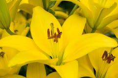 желтый цвет лилий Стоковые Фото