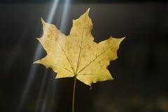 желтый цвет листа Стоковая Фотография RF