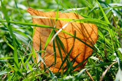 желтый цвет листва Стоковые Фотографии RF