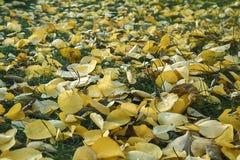 желтый цвет листьев осени Золотистая осень hardwood стоковое фото rf
