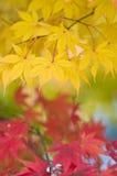 желтый цвет листьев осени красный Стоковые Изображения