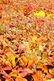 желтый цвет листьев осени Стоковое Фото