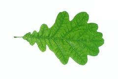 желтый цвет листьев предпосылки белый Стоковая Фотография RF