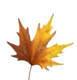 желтый цвет листьев стоковые изображения rf