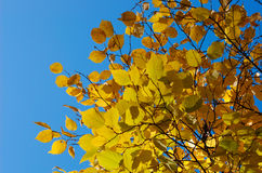 желтый цвет листьев Стоковое Фото