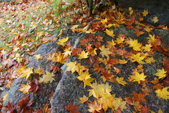 желтый цвет листьев Стоковое Изображение RF