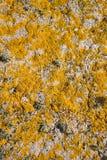 желтый цвет лишайника стоковые фотографии rf