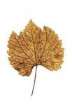 желтый цвет лозы листьев Стоковое Фото