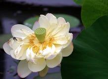 желтый цвет лотоса цветка стоковые фотографии rf