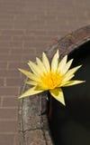 желтый цвет лотоса Стоковая Фотография